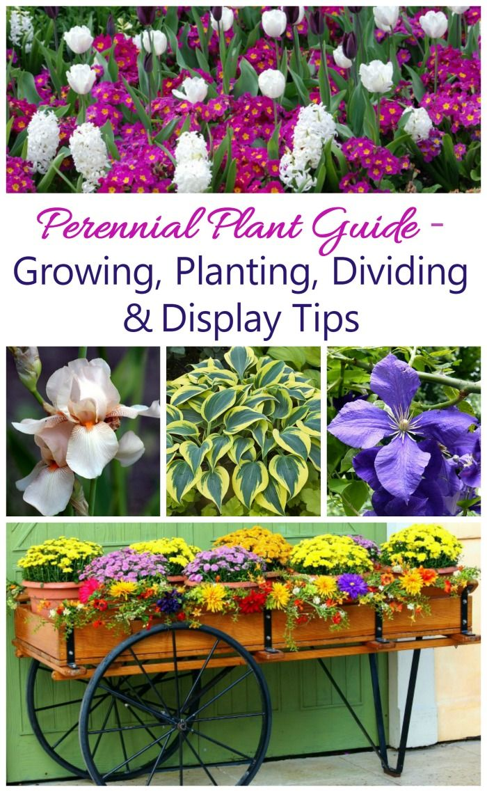 Growing Perennials   How To Grow Perennial Plants