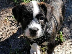 Oreo, adoptable Dog, Puppy Male Boxer & Terrier Mix Pet