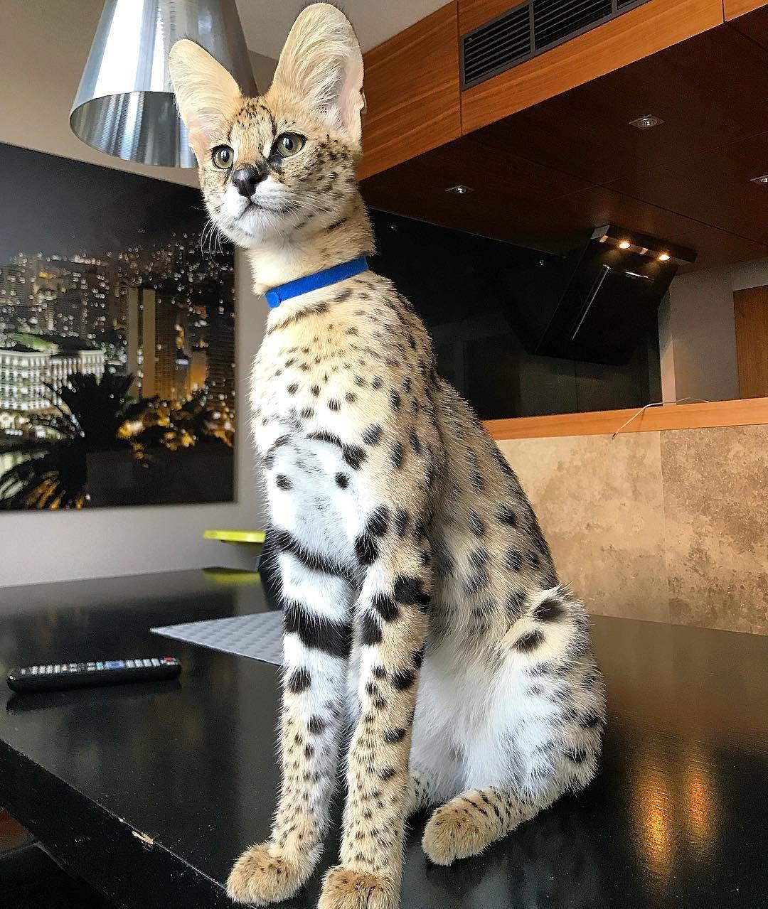 Cats, cat, pet, | Mr Simao - Savannah F1 | Savannah chat ...