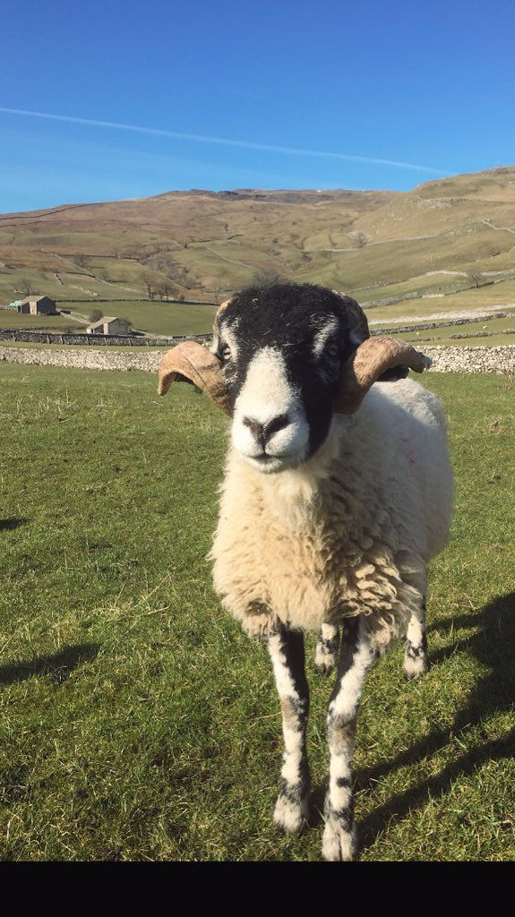 ♥ Hill Top Farm @hilltopfarmgirl on Twitter ~ Swaledale sheep ...