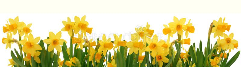 Spring daffodils border. Fresh spring daffodils border isolated on white ,  #AFF, #border, #daffodils, #Spring, #Fresh… | Daffodils, Daffodil bulbs,  Planting flowers
