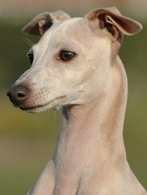 Italian Greyhounds What S Good About Em What S Bad About Em Italian Greyhound Dog Greyhound Dog Breed Whippet Puppies