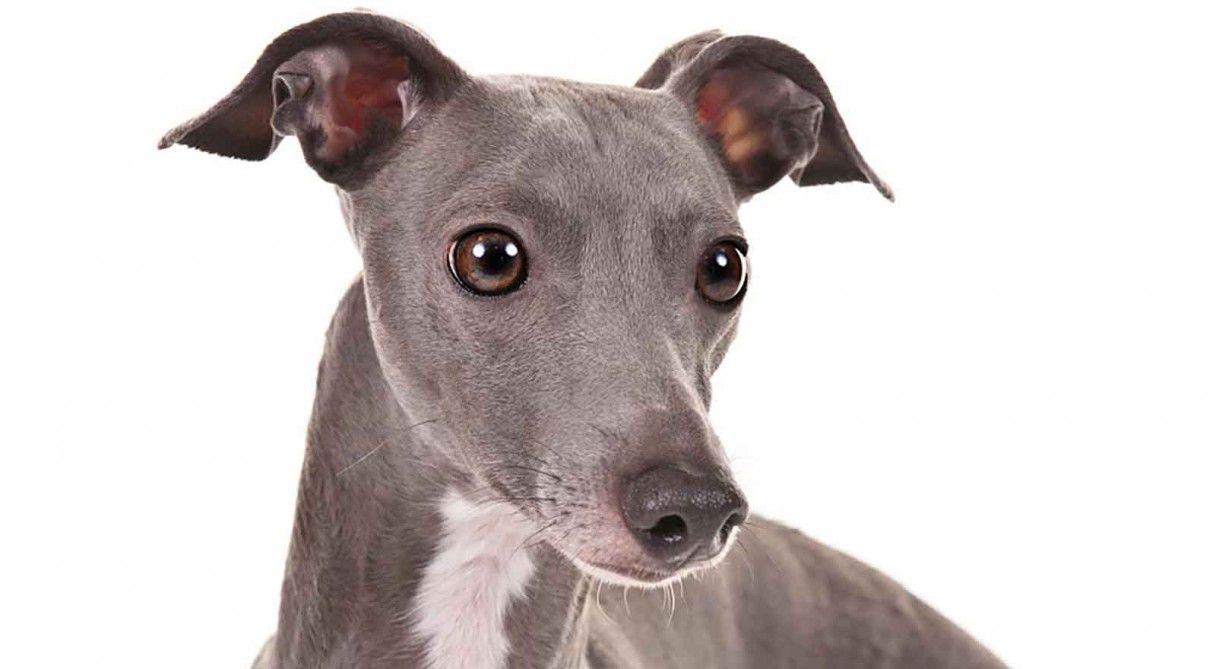 Italian Greyhound Dog Breed Information Grey Hound Dog Italian Greyhound Dog Greyhound Dog Breed