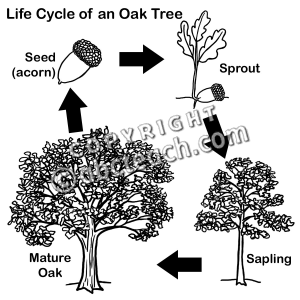 Oak Tree Acorn Coloring Page