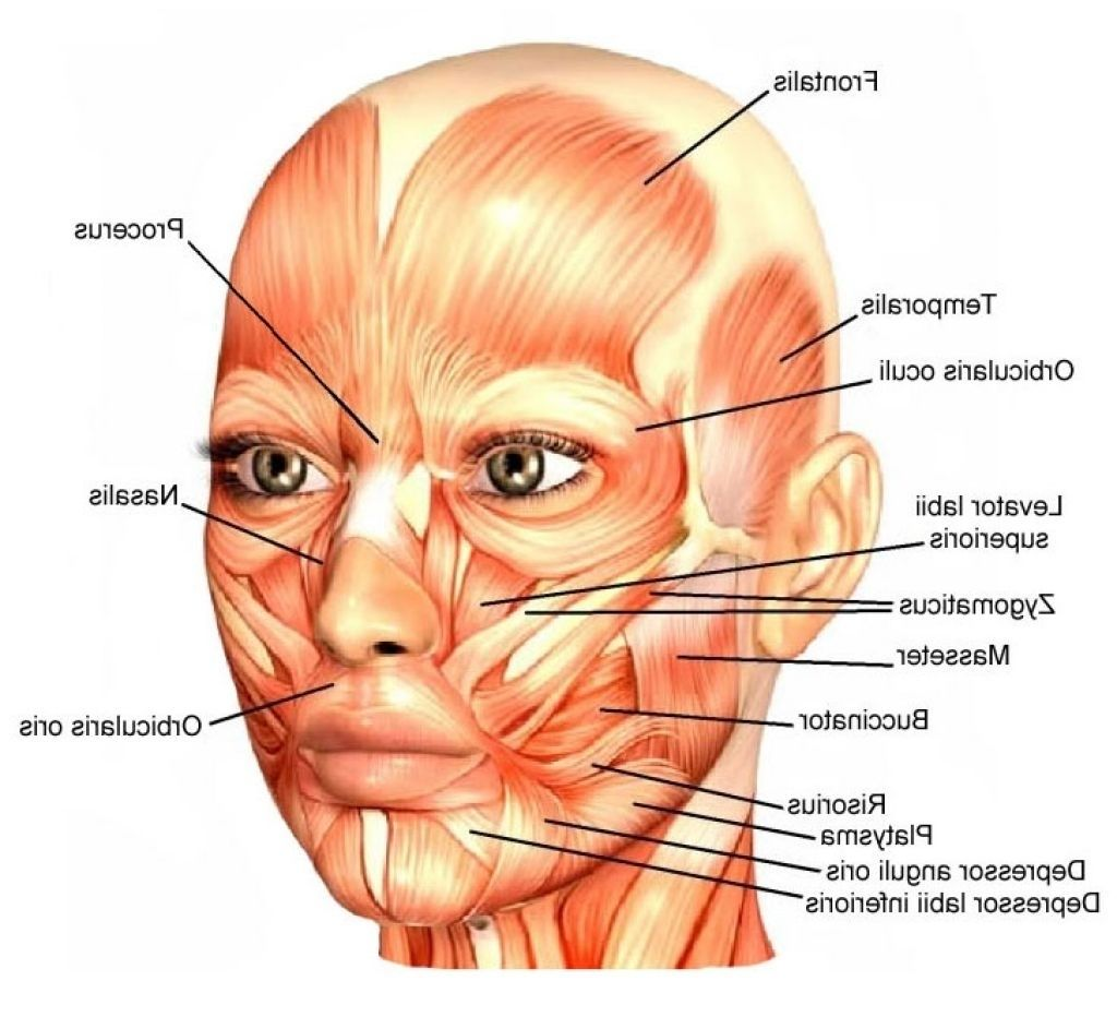 pin by melissa montanez on anatomy: face muscles in 2018 | pinterest