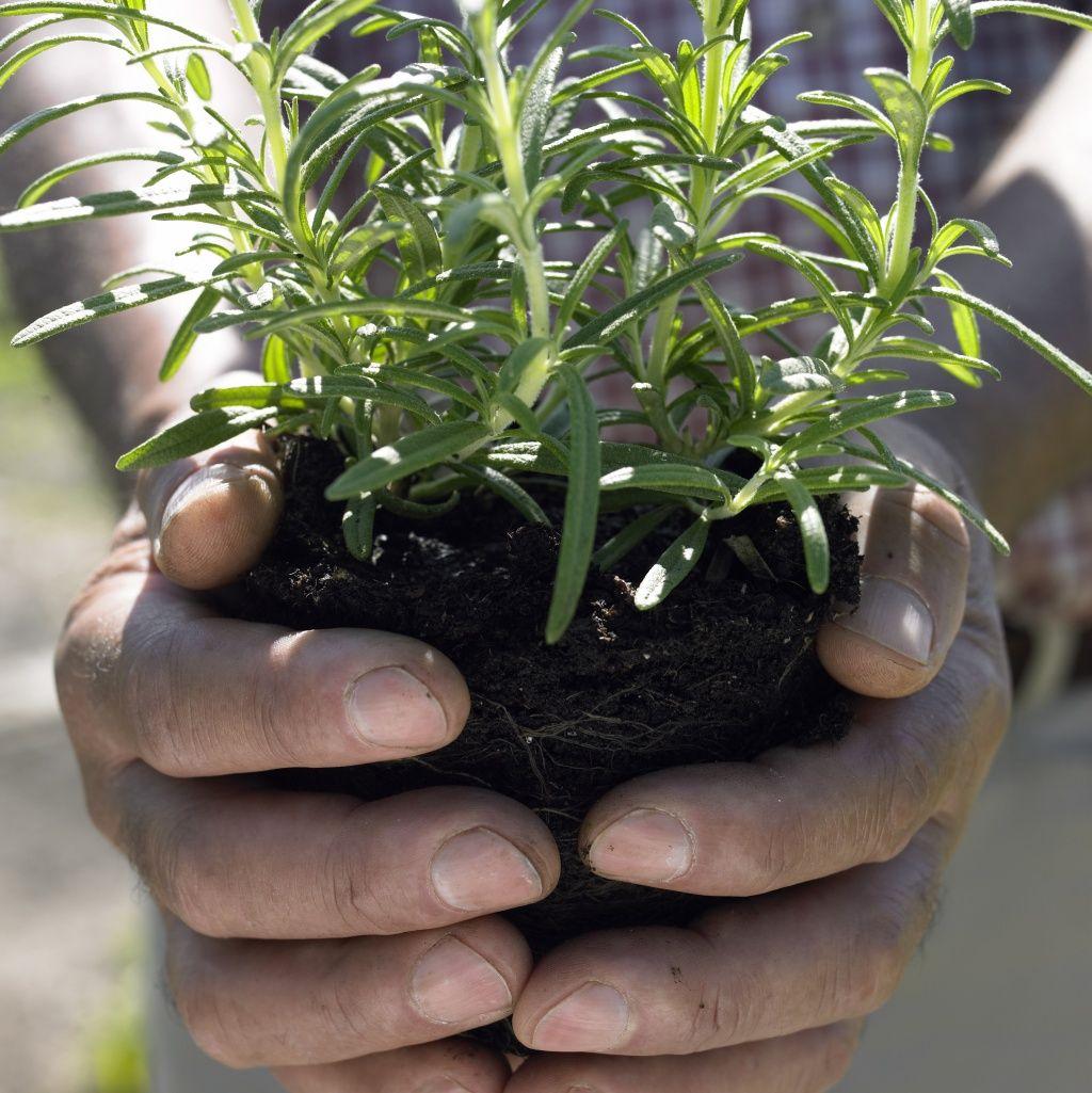 plante anti moustique exterieur naturels les plantes et antigupes with plante anti moustique. Black Bedroom Furniture Sets. Home Design Ideas
