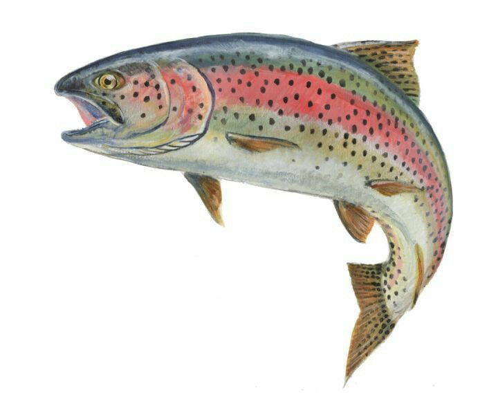 Rainbow Trout With Images Fish Rainbow Trout Picture Rainbow