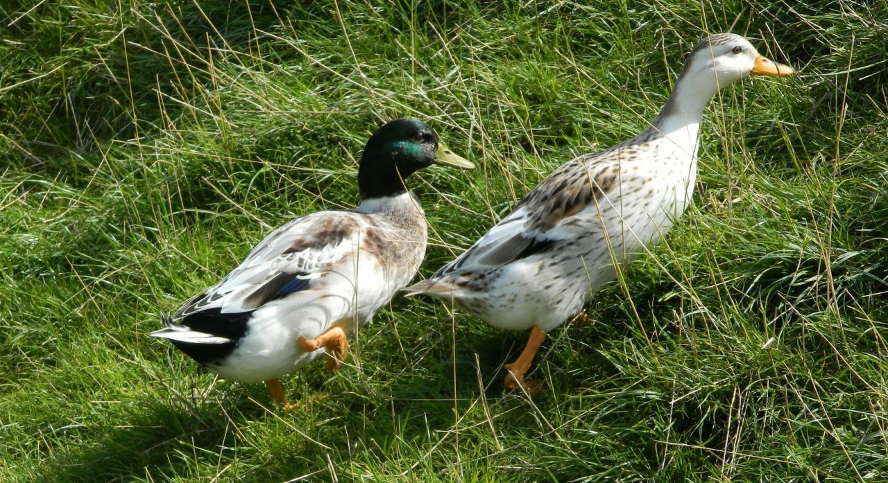 Miniature Silver Appleyard Ducks Call Duck Size Bridgend Bridgend Pets4homes Duck Duck House Duck Pond