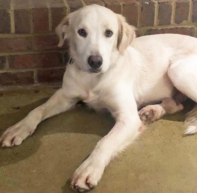 Adopt Archie On Dogs Golden Retriever Dogs Dog Training
