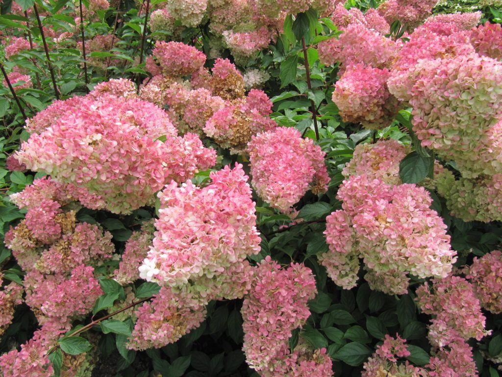 Hortensien vermehren: Ableger, Stecklinge & Teilung - Plantura #hortensienvermehren