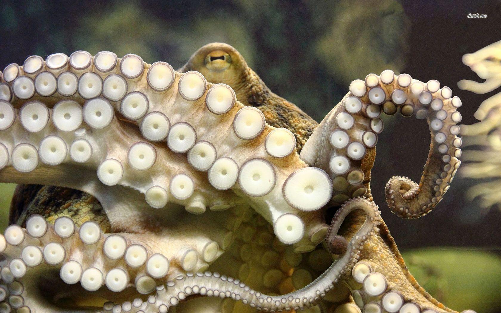 Octopus tentacles octopuses octopi octopodes uc pinterest