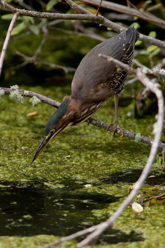 Green Heron at Commonwealth Park in Beaverton Oregon | da OwlPurist