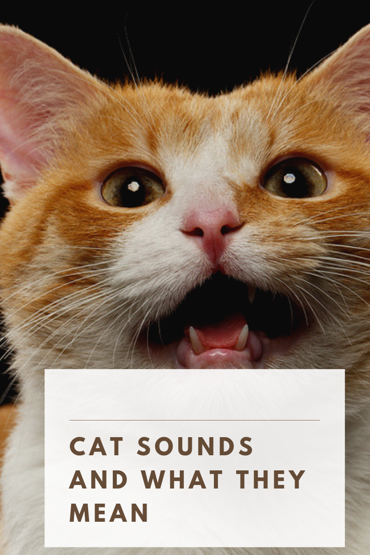 7 Common Cat Noises And What They Mean Cat noises, Cats