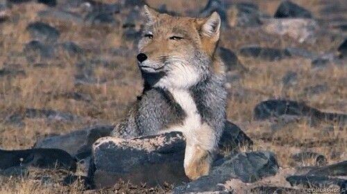 Hermososssssss スナギツネ 珍しい動物 チベットスナギツネ