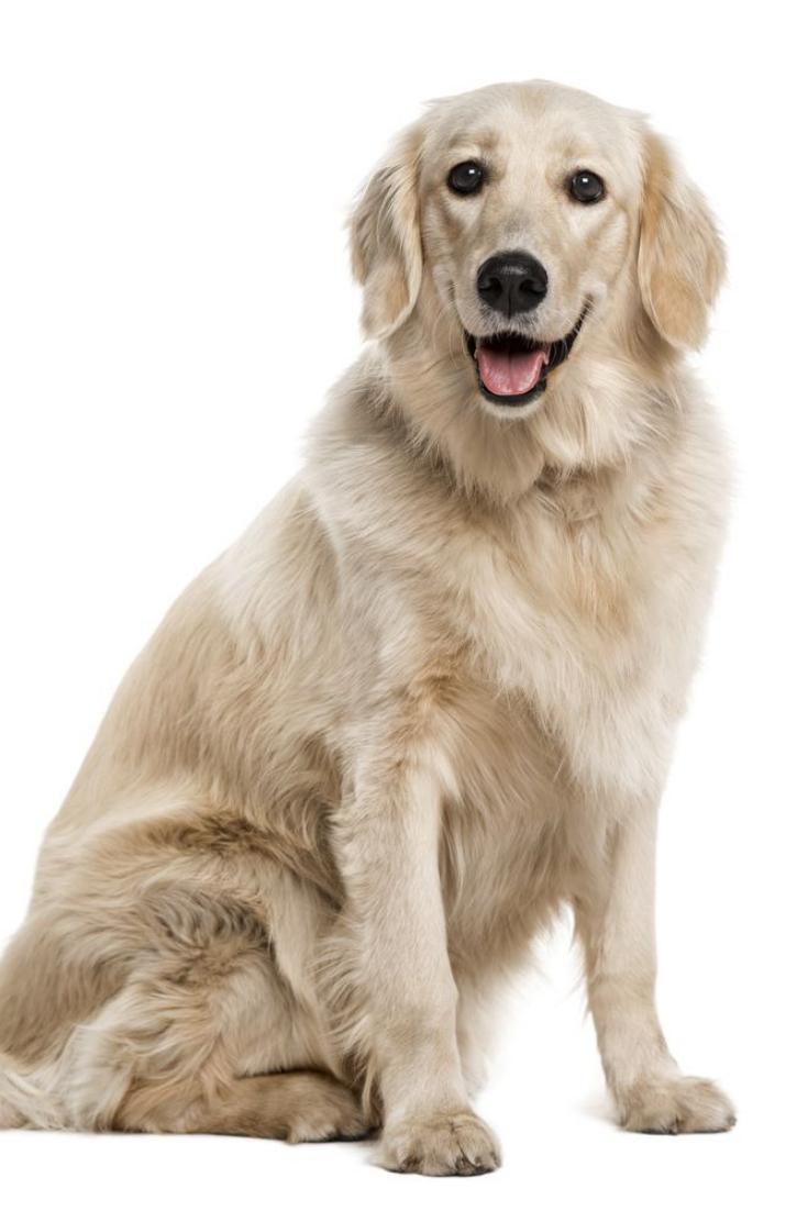 Golden Retriever 1 Year Old Goldenretriever Golden Retriever Retriever Dogs