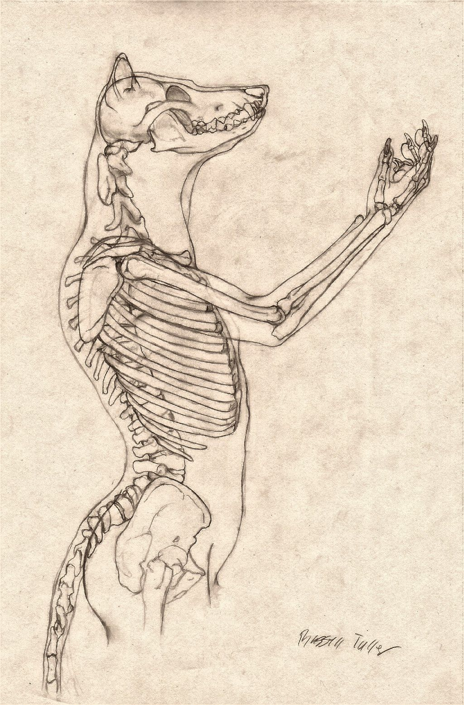 Wolf Anthro Anatomy {Upper Bone Structure} | Anthro | Pinterest