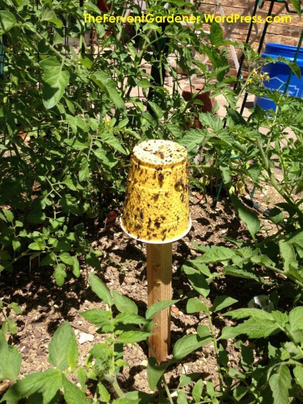 Setting a Trap for Garden Pests Namely Aphids and Whiteflies The Fervent Gardener