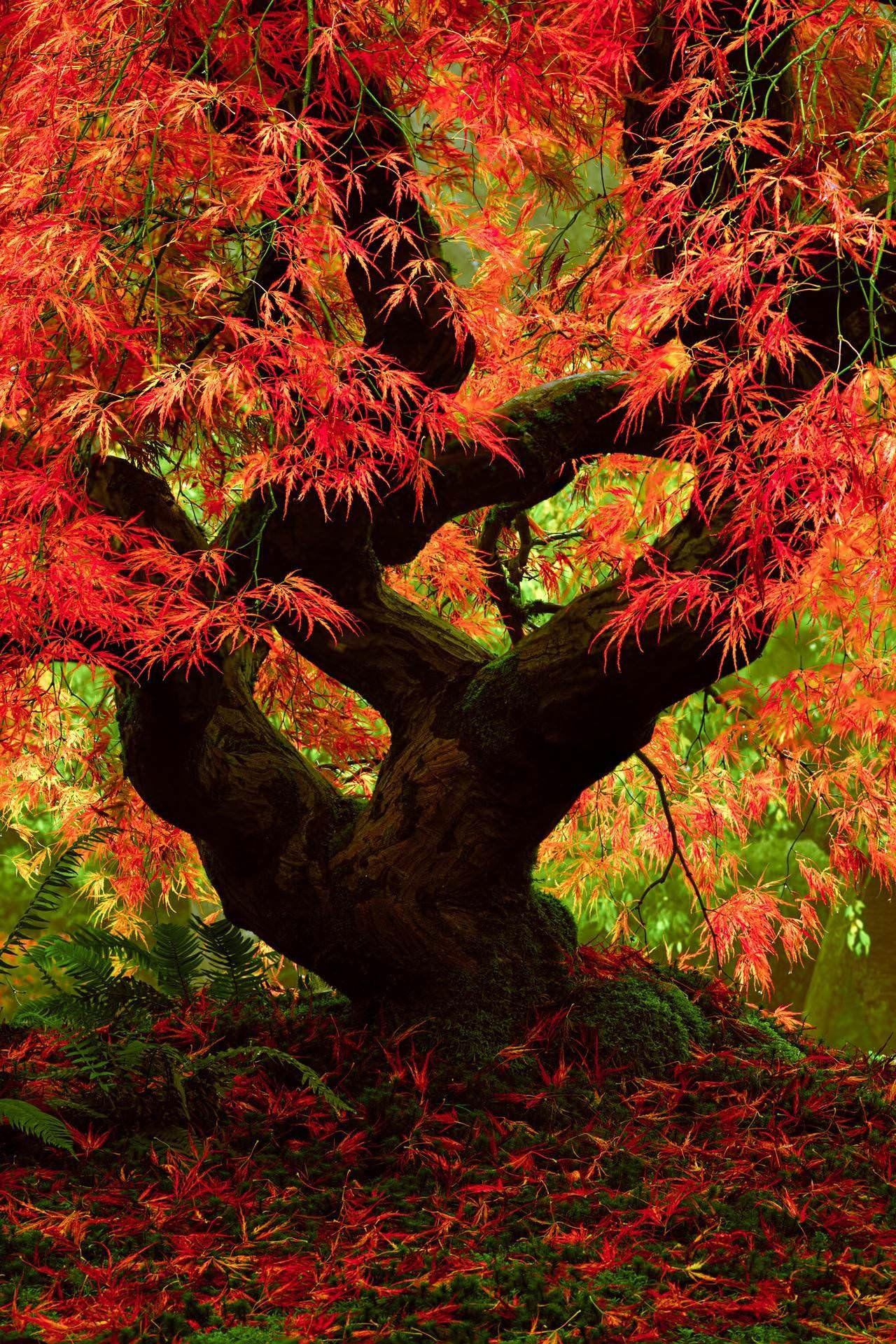 Japanese Maple at the Portland Japanese Garden is straight