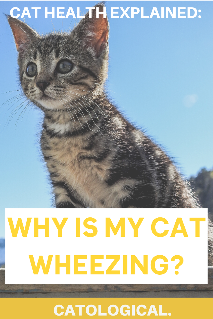 Cat Wheezing What To Do Why It Happens How To Help Them In 2020 Cat Wheezing Cat Parenting Kitten Care