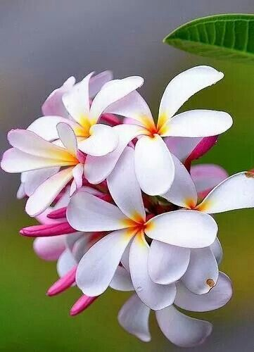 Plumeria If You Close Your Eyes And Smell Deeply Enough It S Like You Re Really In Hawaii Flores Bonitas Melhores Flores Amor Flores