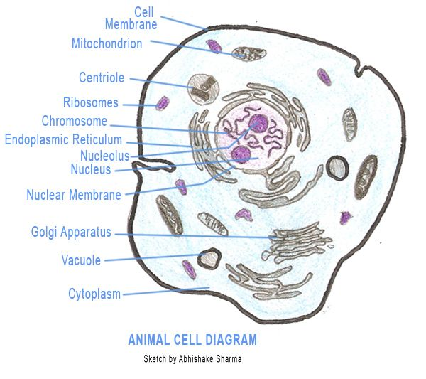 Animal Cell Parts – Animal Cell Diagram Worksheet