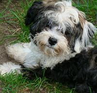 Willkommen Bei Den Bolonkis Von Anastasias Zarenhundchen Hunde