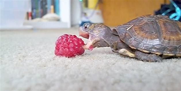 Video Still Of A Baby Eastern Box Turtle Eating A Raspberry