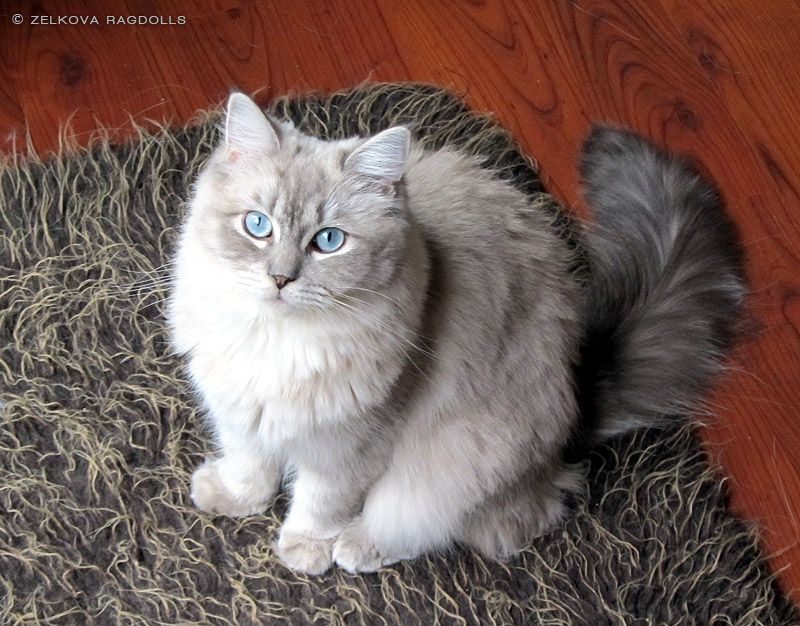 Zelkova Ragdolls Nc Breeder Kittens And Puppies Cuddly Animals Cat Reference