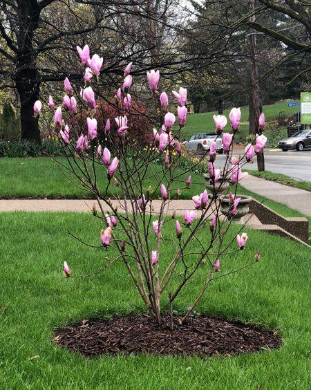 Jane Magnolia Fast Growing Trees Jane Magnolia Tree Flowering Trees