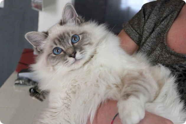 A True Invite For Cuddling Birman Cat Cat Plants Cat Pics