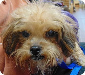 Pin By Uber Wagmore On Adoptable Small Breeds Shih Tzu Poodle