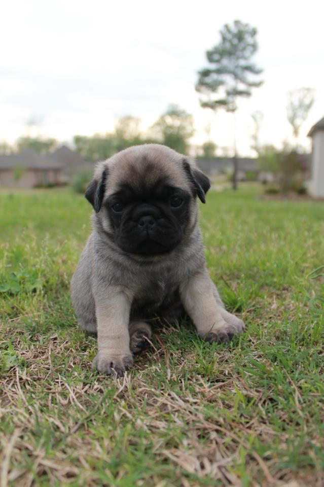 Baby Pug Awww So Cute Baby Pugs Cute Animals Baby Animals