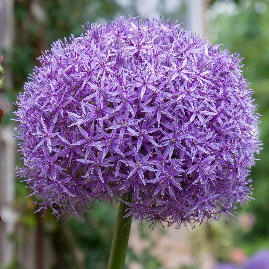 Allium Bulbs Item 6019 Globemaster For Sale Spring Flowering Bulbs Flower Seeds Plants