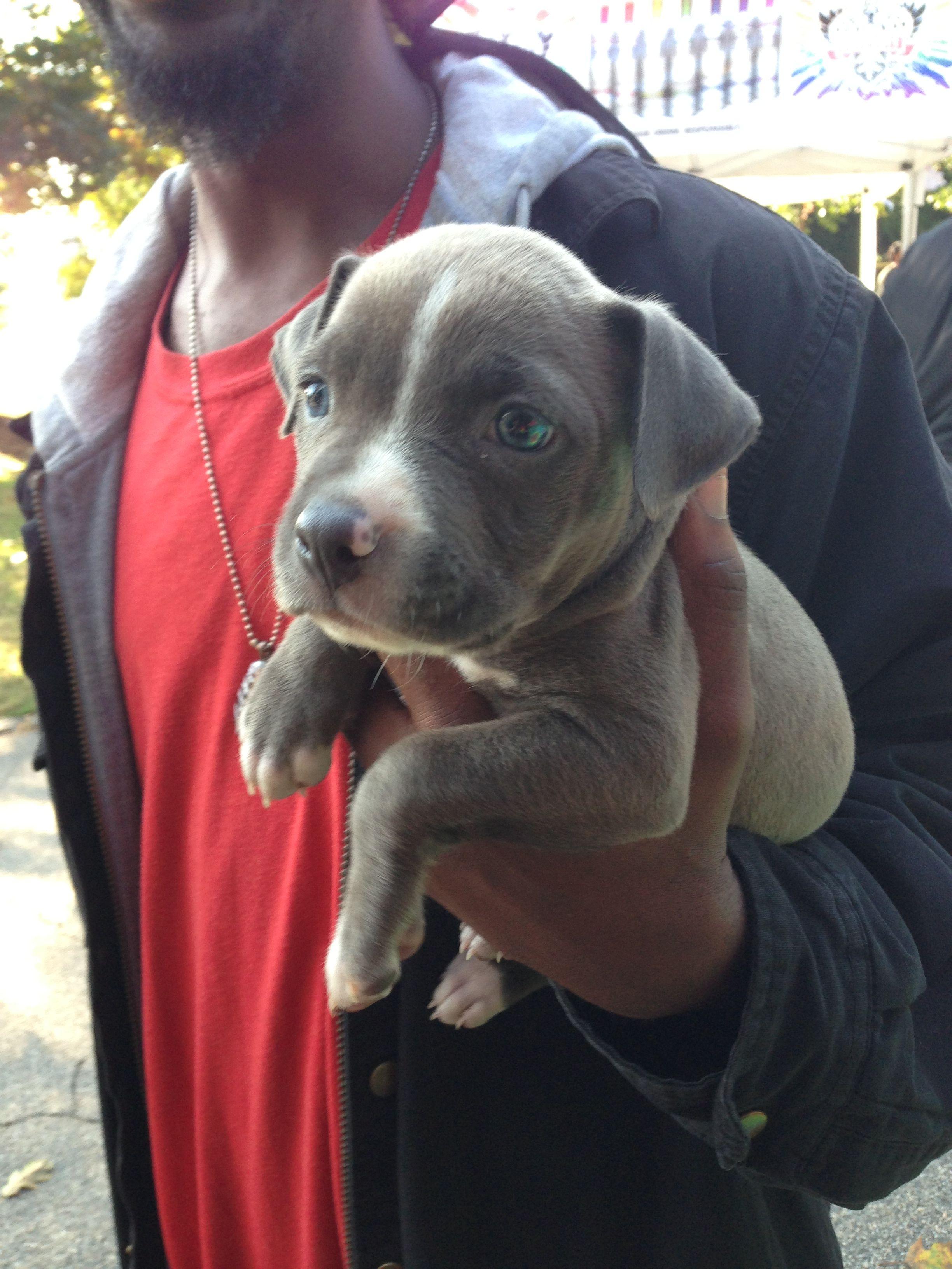Blue pit puppy blue pit puppies pit puppies puppies