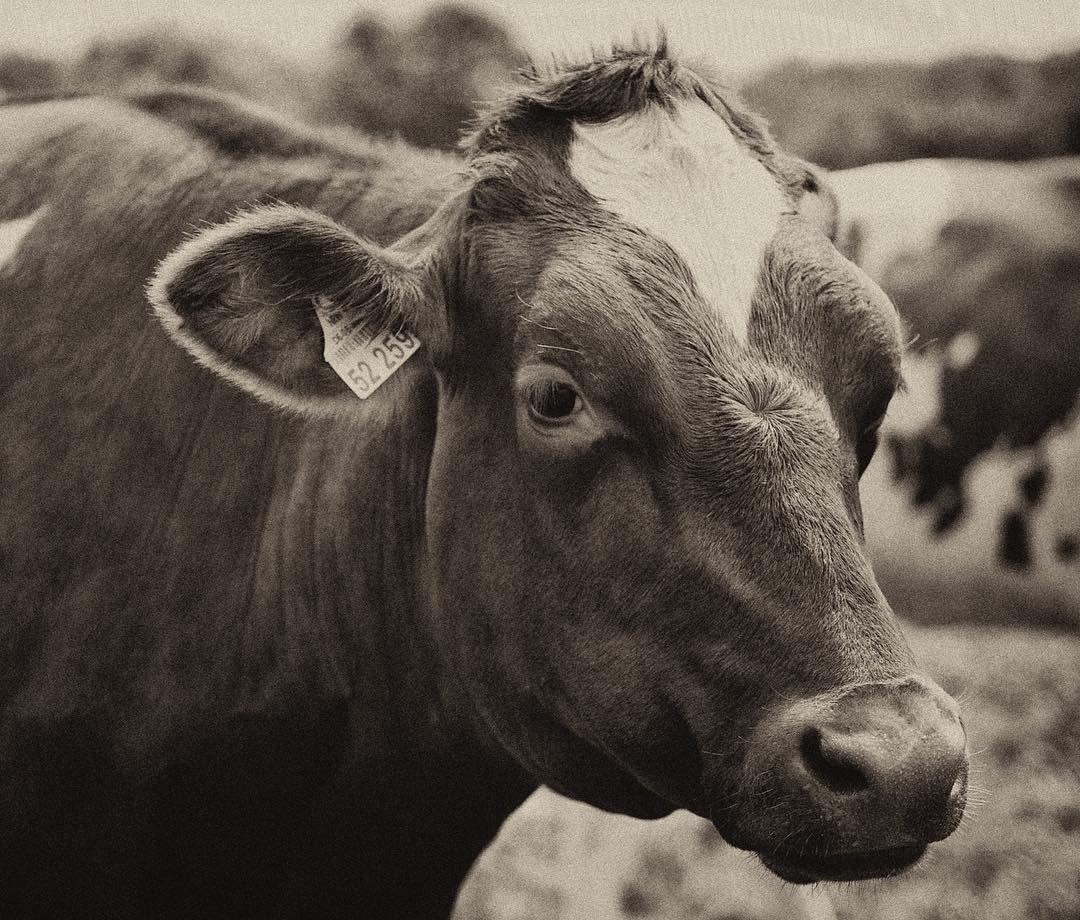 Hat irgendwie neuerdings was mit der Arbeit zu tun  #topagrar #kuh #kühe #cow #animal #animalportrait #bauer #sepiatone #sepiaphotography #nature #pets #petsofinstagram #instagood #petsagram #animallovers