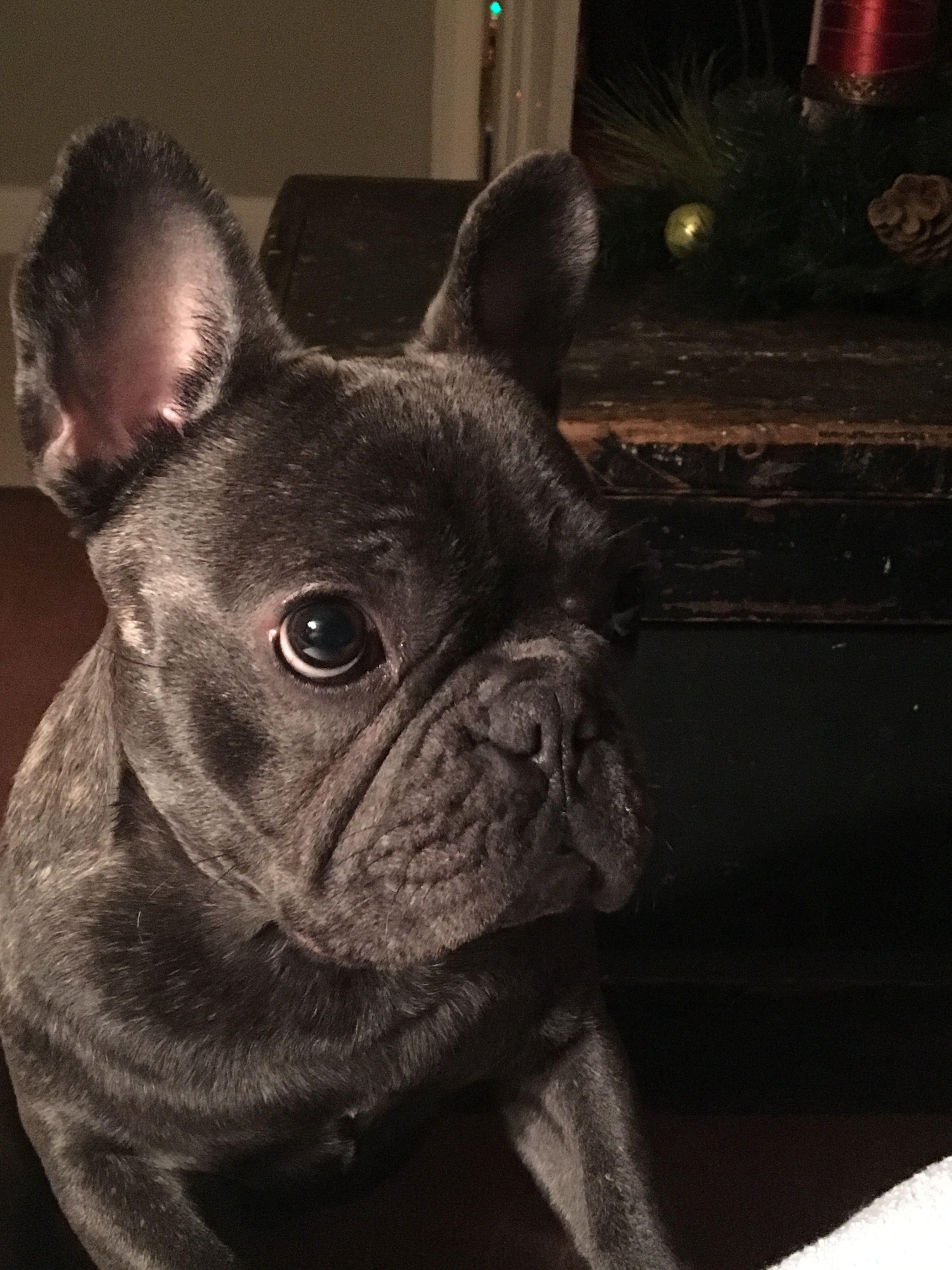 Blue brindle French bulldog Blue brindle french bulldog