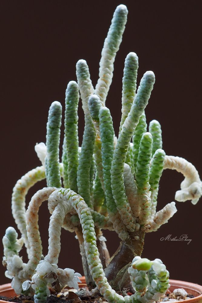 Succulent Plant--Avonia recurvata--ONE Plant from the Pot!