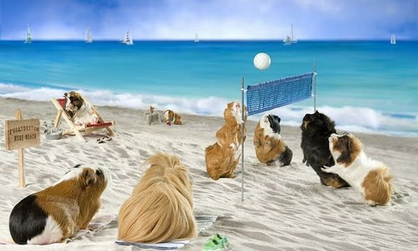 Pigs+at+the+beach   the perfect match plus in may the average high is 83 sign me up
