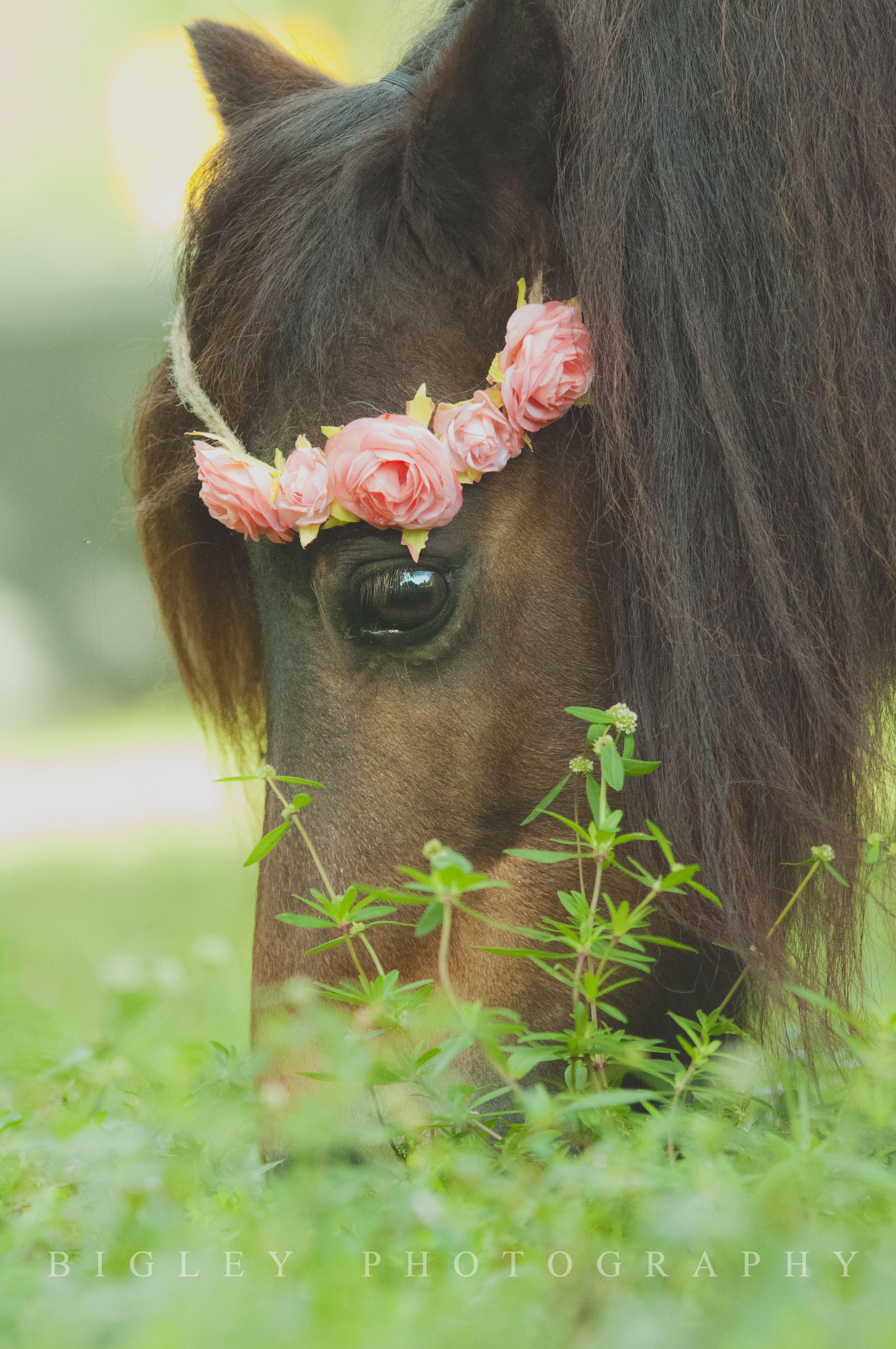 Facebook Horses Pretty Horses Mini Horse Mini horse in my backyard