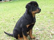 Rottweiler Dogs For Sale From Registered Breeders At Dogz Online
