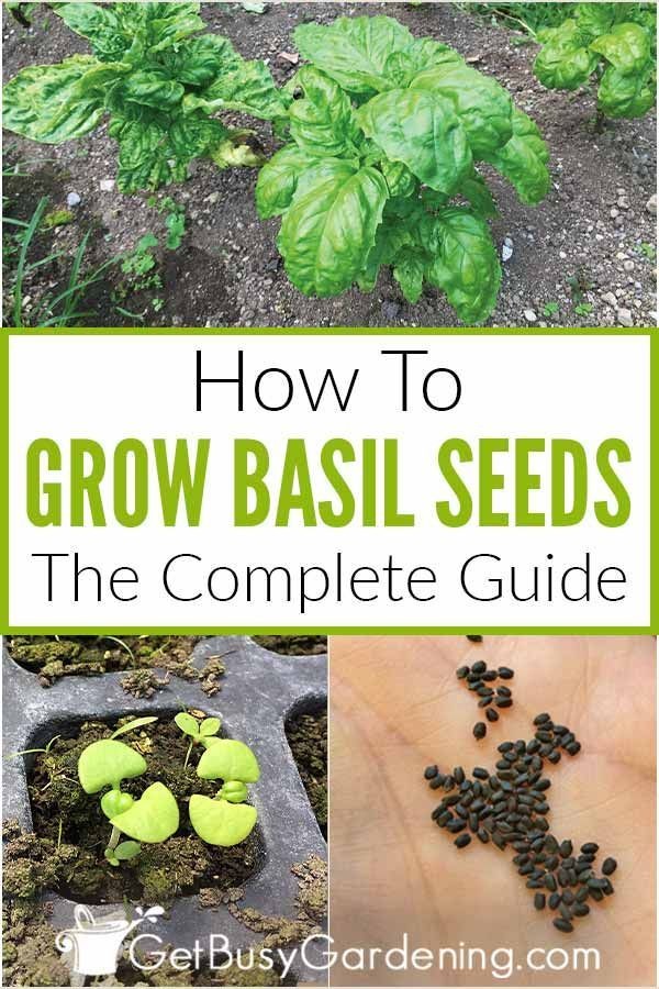 Photo of How To Grow Basil From Seed: Complete Guide