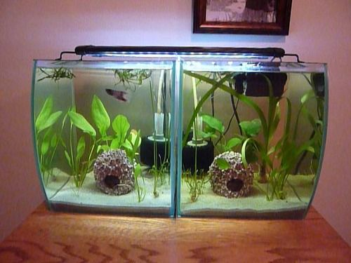 Use a blind between 2 bettas but keep in mind bettas for How much is a fish tank