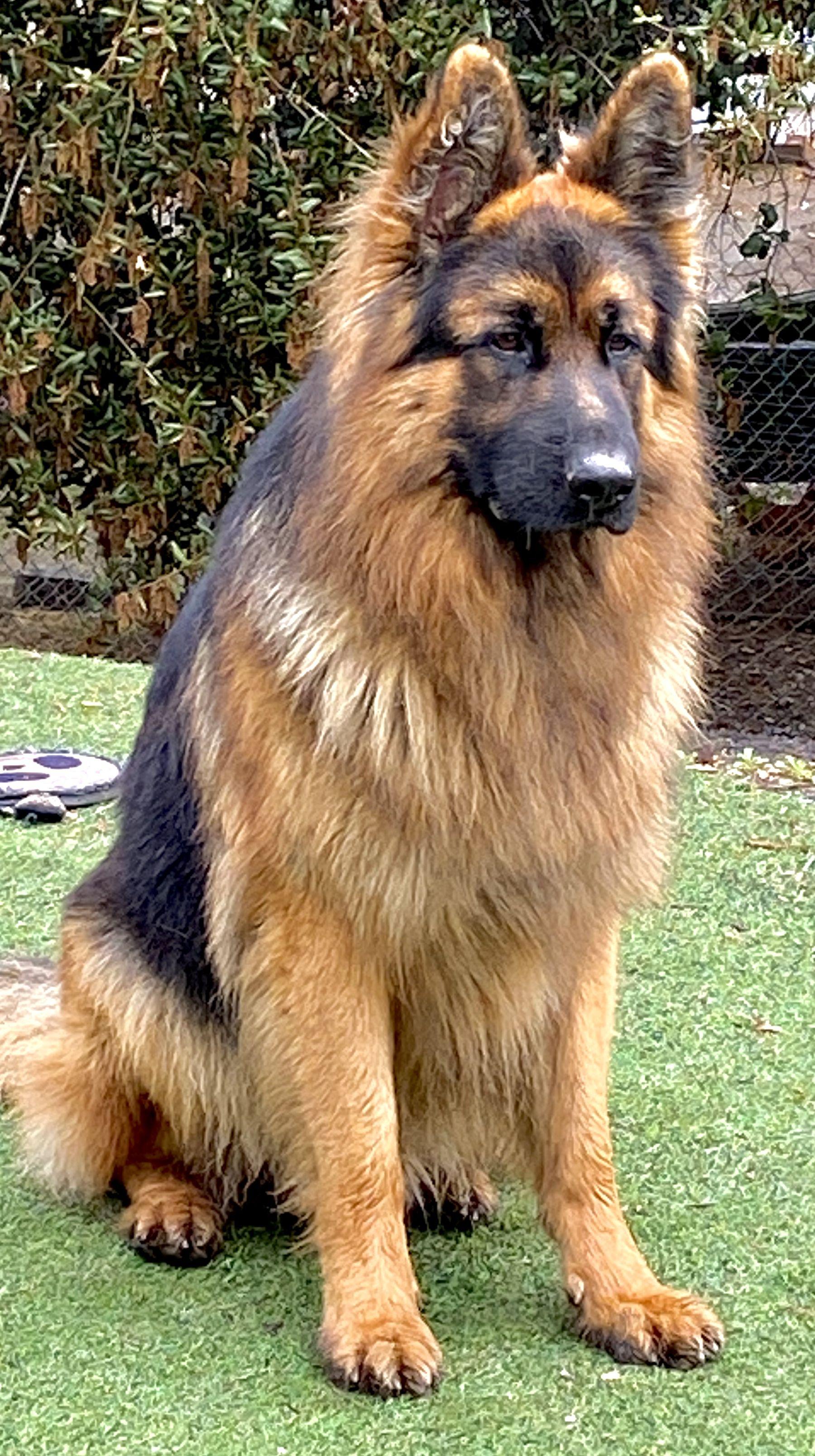 Ted E Bear In 2020 German Shepherd Dogs Animals Beautiful