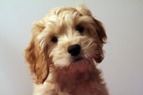 Cockapoo mixed with schnauzer Cockapoo Poodle Mix Page 6