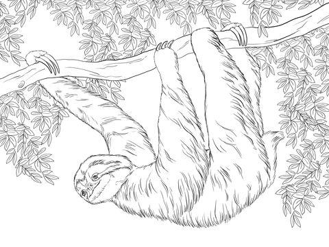 Perezoso de Tres Dedos Colgando de un árbol Dibujo para colorear ...