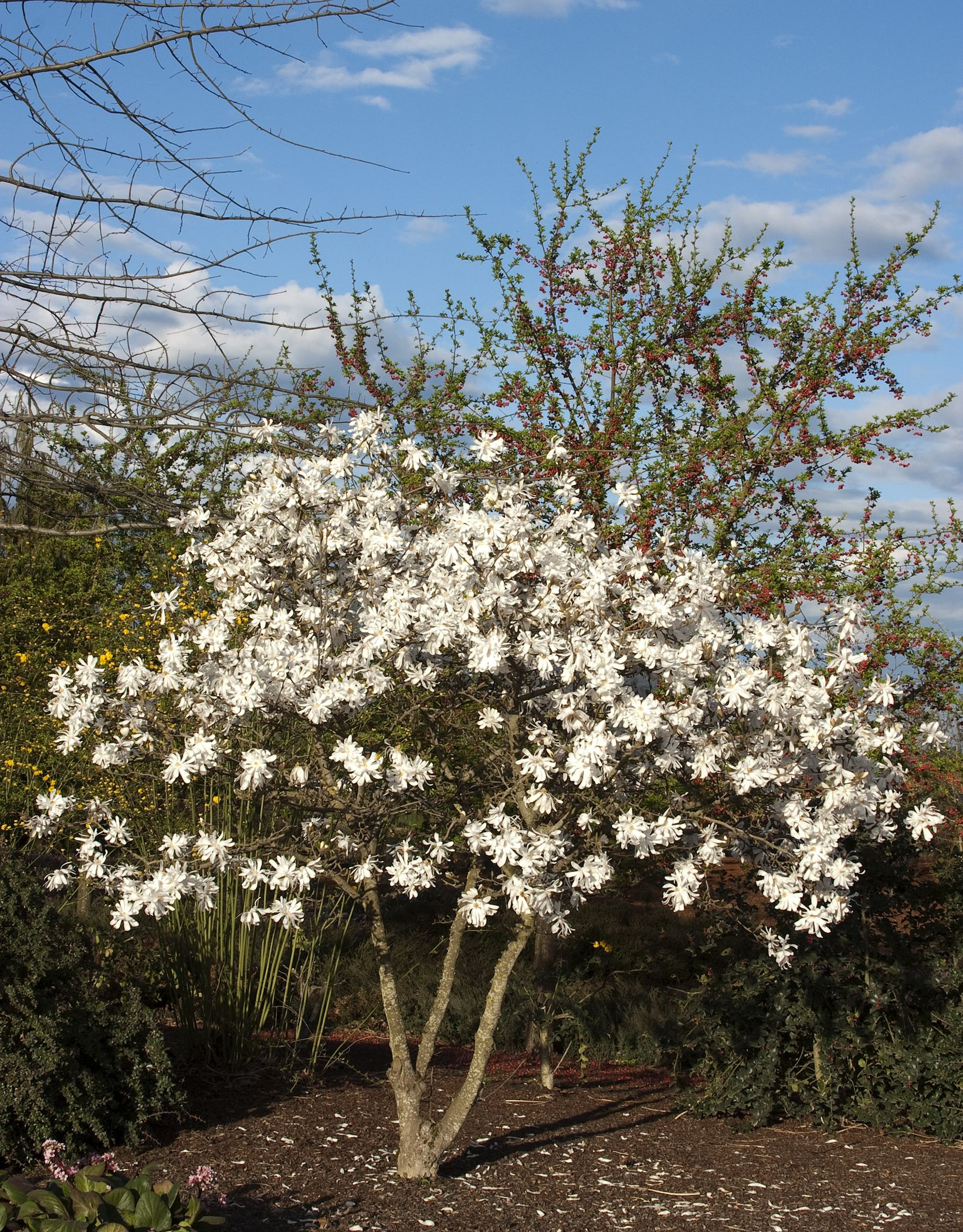 Mad For Magnolias Trees Shrubs And Climbers Pinterest
