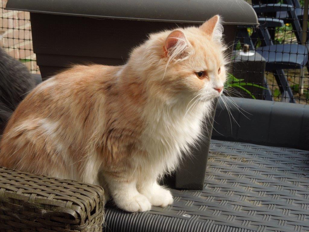 Yuri Siberian Cat 9 Months Old Siberian Cat Cat Breeds Cats