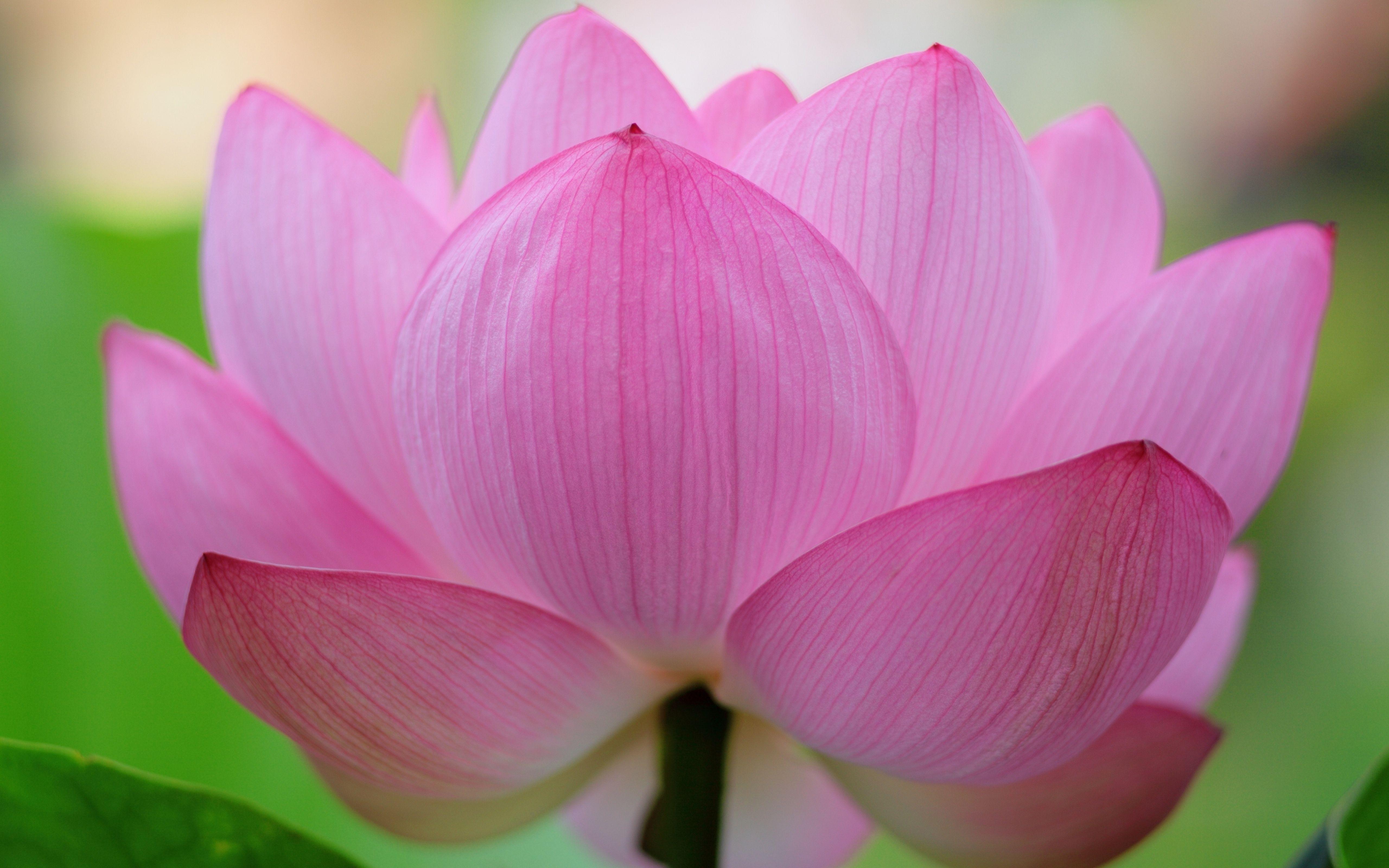 Pink Lotus Flower Desktop Background Wallpaper Free