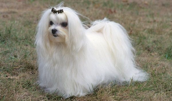 10 Popular Small Long Haired Dog Breeds Tail And Fur Long Haired Dog Breeds Maltese Breed Dog Breeds