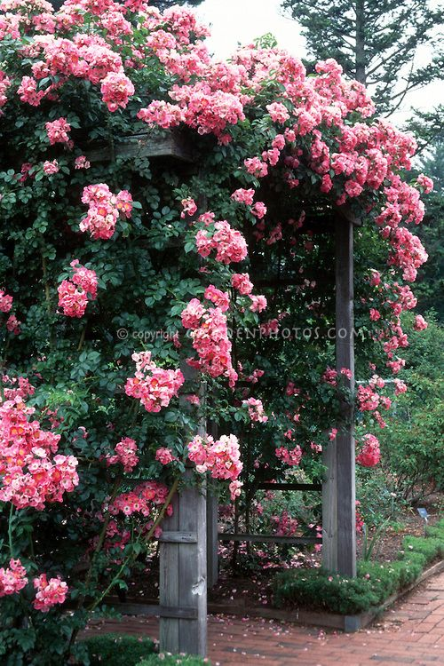 Best trellis for climbing rose climbing roses american pillar rosa american pillar climbing rose over trellis pink flowers bench arbor mightylinksfo